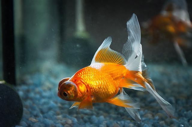 金魚は縁起物